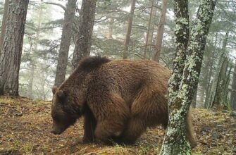 В Якутии медведи выходят к населенным пунктам и дорогам из-за лесных пожаров - эксперт