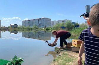 В озера города Покровска Якутии запустили уток