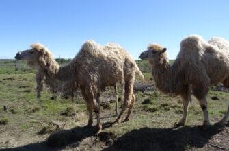 В Плейстоценовый парк Якутии завезли 10 верблюдов и 37 коз