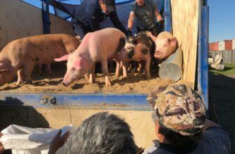 Животноводческие предприятия Якутии реализовали в районах свыше 3000 свиней и 70 тысяч кур