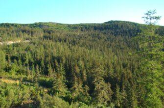 АГАТУ реализует проекты по восстановлению лесов в Якутии