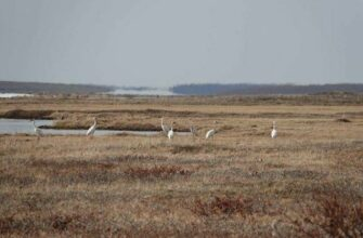 """В национальном парке """"Кыталык"""" Якутии наблюдается рост количества стерхов"""
