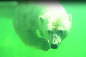 Московский зоопарк объявит конкурс по выбору имени белой медведице, найденной в Якутии