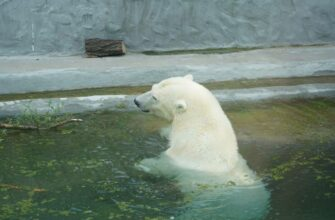 Белую медведицу из Томпонского района Якутии назвали Томпа