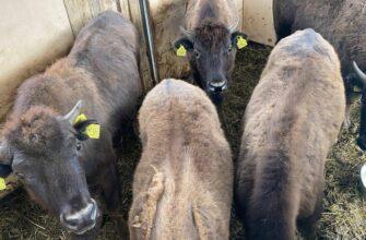 В Плейстоценовый парк Якутии прибыла новая партия бизонов
