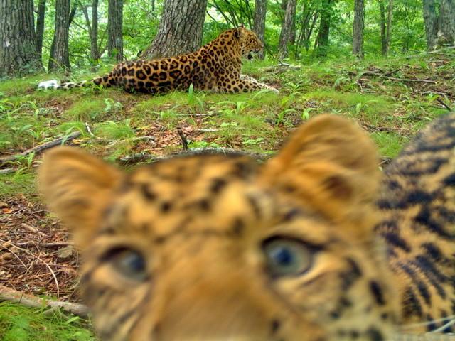 Искусственный интеллект МТС поможет сохранить дальневосточного леопарда