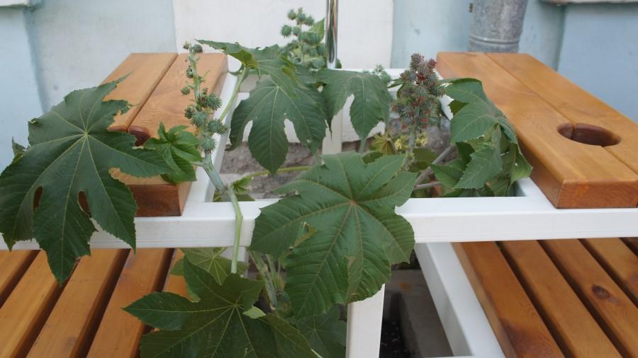 Опасное для жизни ядовитое растение удалили из центра Якутска