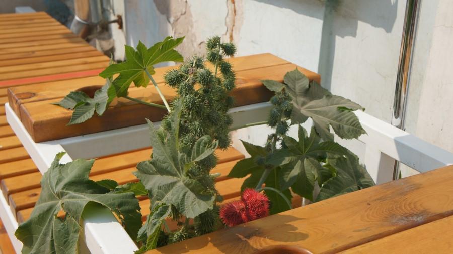 В центре Якутска посадили опасное для жизни ядовитое растение