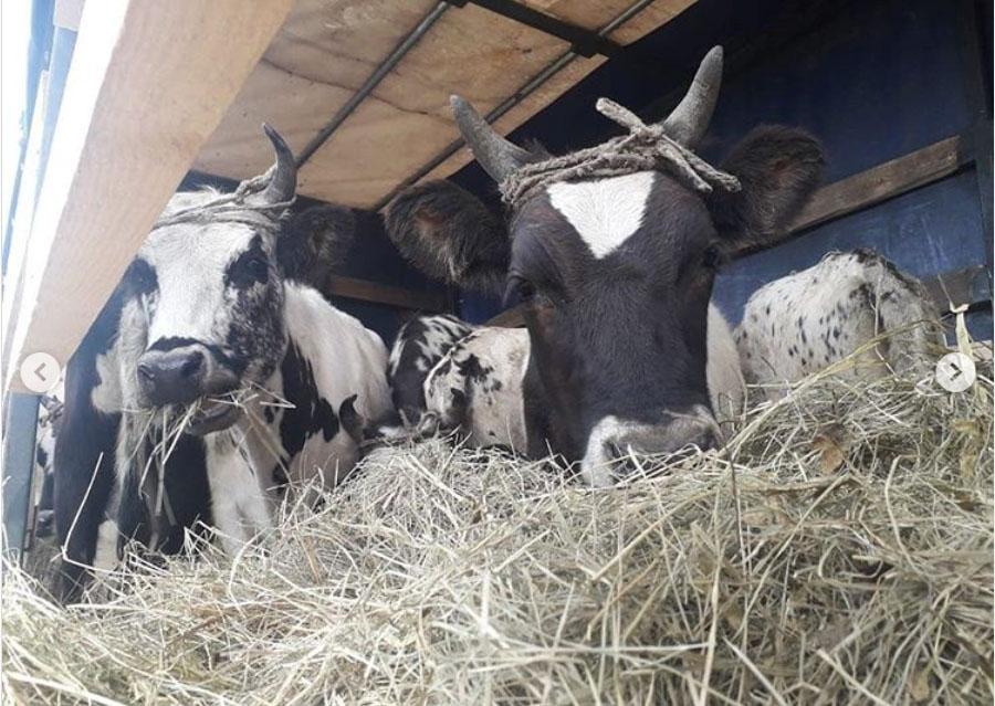 Василий Афанасьев: Зимовка крупного рогатого скота в Якутии проходит в штатном режиме